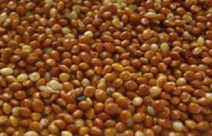 Millet red for export