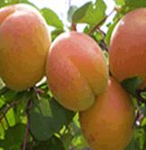 Саженцы абрикоса раннего, среднего, позднего срока