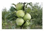 Яблони летних, зимних сортов