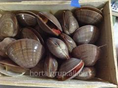 Fasolari's mollusk