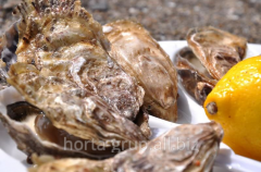 Oysters of 'Kankal'