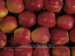Apples Gloucester (Gloster)