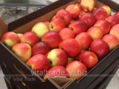Apples of Gala (Gala)