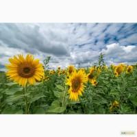 Семена подсолнуха Лимит под евролайтнинг/Насіння соняшника Ліміт (під євролайтнінг)