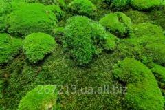 Стабилизированный мох (1кг)