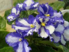 Hazes violet Linda, young plants, shanks on