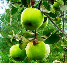 Apples wholesale sale
