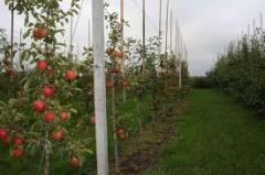 Apples of new natural grade - Renaul