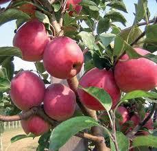 Яблоки РЕВЕНА новый натуральный сорт, мякоть