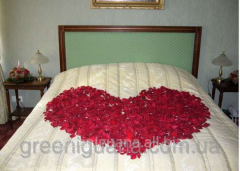 Dark pink petals of roses of 100 pieces