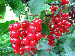 Northern red currant Dzhonker Van Tets