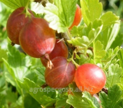 Cuttings Hinomaki red gooseberry