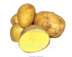 Куплю Картофель 3500 тонн по безналу. 2 и 1 сорт.