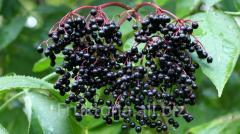 Berry the elder frozen