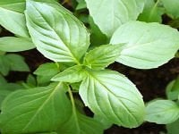 Basil seeds green Mammoth of 0,5 g