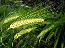 Пшеница,зерно,купить