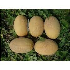 Melon seeds Amal of F1 1000 seeds