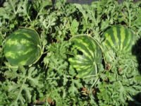 Water-melon seeds Krymson Svit of 0,5 kg