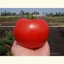 Seeds of tomato of Akel of F1 1000 seeds