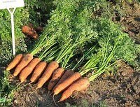 Carrots seeds Canada F1 25000 pieces.