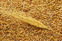 Зерно, зерновые культуры. Пшеница.