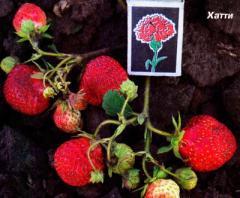Saplings of wild strawberry of garden (strawberry)