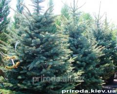 Blue spruce of Veils Albetr Picea pungens