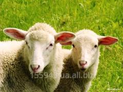 Братзот овец (овисан)