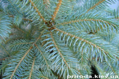 Colorado spruce Kaybab Picea pungens Kaibab of 100