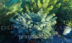 Fir-tree blue Glauka Globoza Picea pungens of 80 -