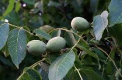 Персидский грецкий орех
