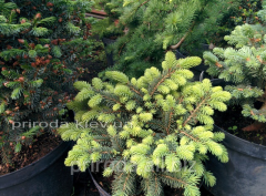 Colorado spruce Picea pungens Waldbrunn of 25 cm