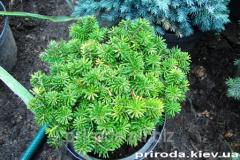 Balsam fir Abies balsamea Nana of 20-30 cm