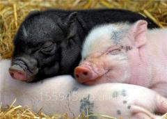 Vaccine against diseases of pigs
