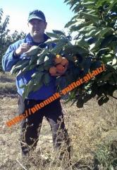 Saplings of persimmon winterhardy on verginsky
