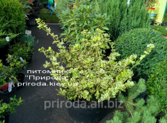 Forchun Euonymus fortunei Canadale Gold's