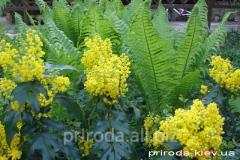 Magoniya padubolistny Mahonia aquifolium of 50 -