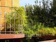 Green hedge Drevogubets kruglolisty Celastrus