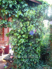 Green hedge Ivy ordinary Hedera helix of 100 - 150