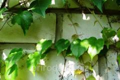 Green hedge Parthenocissus tricuspidata Veitchii