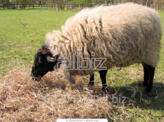 Овца. Сельскохозяйственное животное.