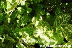 Honeysuckle Japanese Lonicera japonica