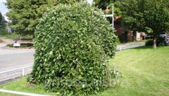 Goat willow Kilmarnock Salix caprea Kilmarnock of