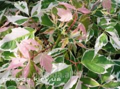 Клён ясенелистный Фламинго на штамбе Acer negundo