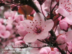 Слива растопыренная на штамбе Prunus cerasifera