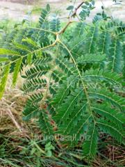 Honeylocust of Gleditsia triacanthos of 400 - 450