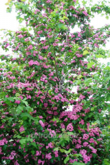 Hawthorn pink and terry Crataegus of 250 - 300 cm