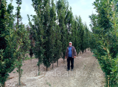 Дуб черешчатый Quercus robur Fastigiata Koster 400