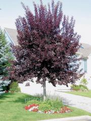 Bird cherry virginsky Schubert Prunus virginiana