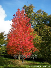 Red maple Acer rubrum of 250 - 300 cm